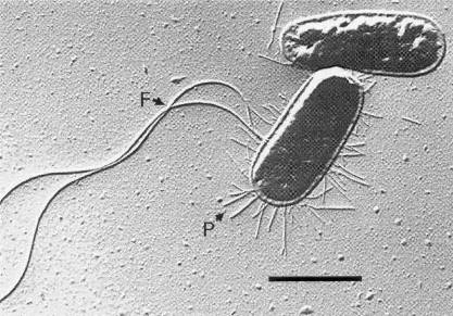 Escherichia_coli